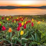 Цветение диких тюльпанов в заповеднике Опук