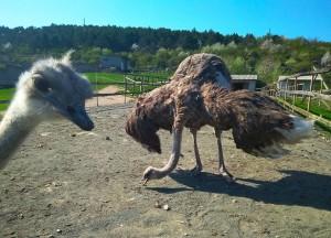Две страусихи, слева на переднем плане с хохолком страусиха лесби.