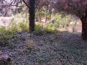 Плющ крымский универсальное нарядное растение. Стены, газоны, металлические и деревянные опоры и решетки.